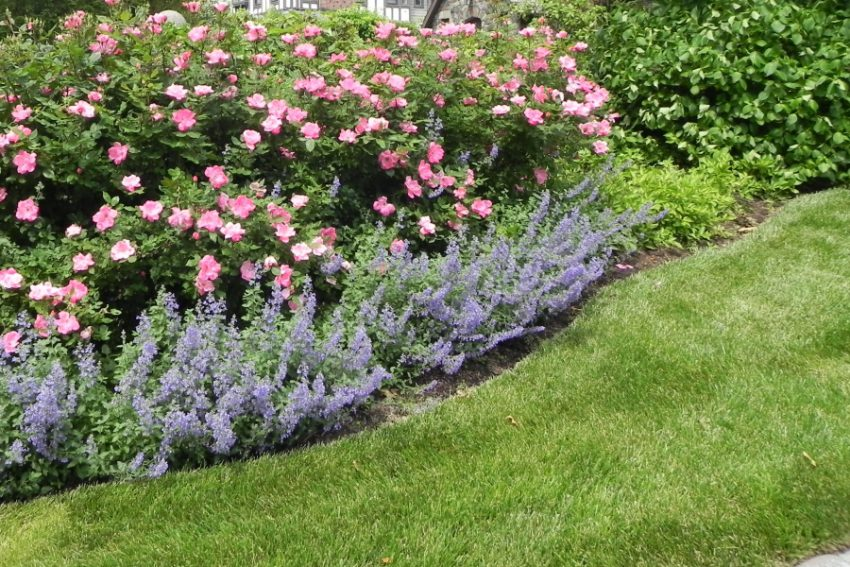 sadzimy roze w ogrodzie